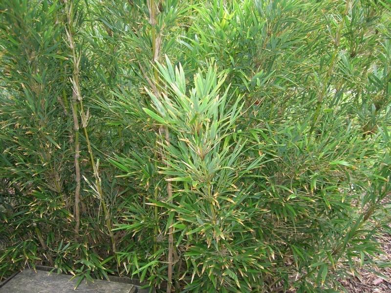 Bambou à identifier Dscn1939