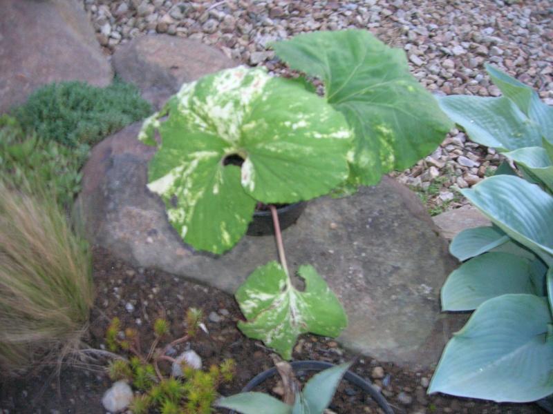 Une plante variégata pour poussin Dscn1998