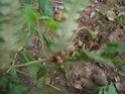 Nouvelle fiche Woodwardia radicans Dscn1714