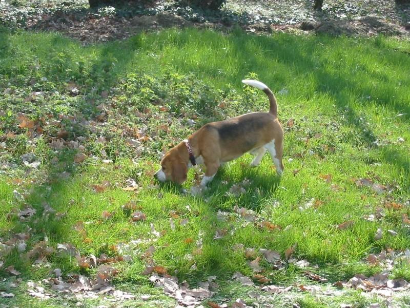 BIRDY, beagle mâle, 5 ans (67) - Page 3 Birdy_10