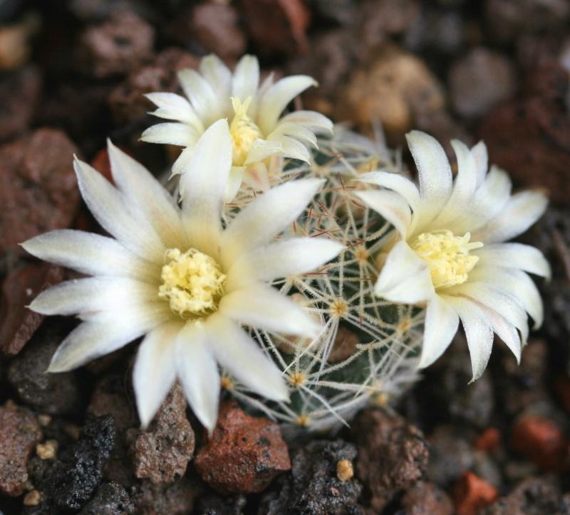 Mammillaria viereckii M_vier10