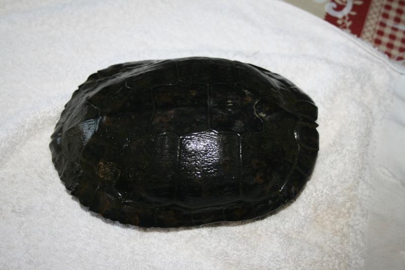 identification de la tortue aquatique trouvée Nouvel10