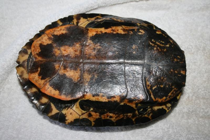 identification de la tortue aquatique trouvée Nouvel11