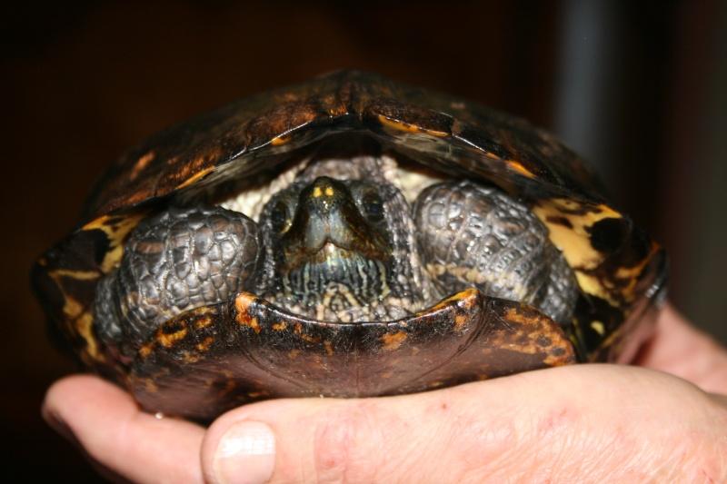 identification de la tortue aquatique trouvée Nouvel12
