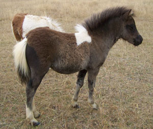 Black pinto yearling filly AMPS & APSB (Eligible Pinto) 210