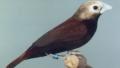 Capucin marron (Lonchura ferruginosa)