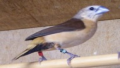 Capucin à croupion jaune (Lonchura flaviprymna)