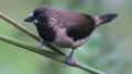 Capucin à ventre roux (Lonchura kelaarti)