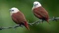 Capucin à tête blanche (Lonchura maja)