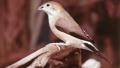 Capucin bec-de-plomb (Lonchura malabarica)