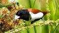 Capucin tricolore (Lonchura malacca)