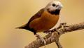 Capucin de Nevermann (Lonchura nevermanni)