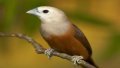 Capucin pâle (Lonchura pallida)