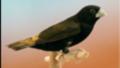 Capucin noir (Lonchura stygia)