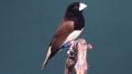 Capucin à poitrine noire (Lonchura teerinki)