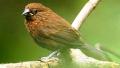 Capucin à tête rayée (Lonchura tristissima)