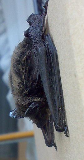 Chauve souris (lulu) 16082011