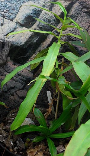 Ventricosa - Pied mère qui meurt... 18_04_11