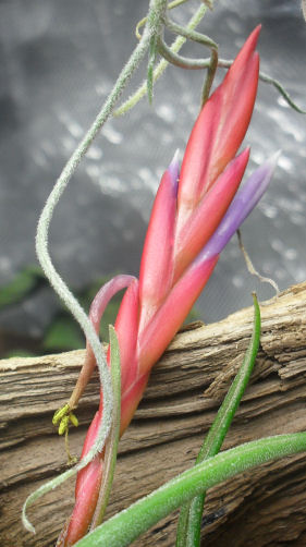 Tillandsia Bulbosa qui va fleurir [évolution] 21_12_10