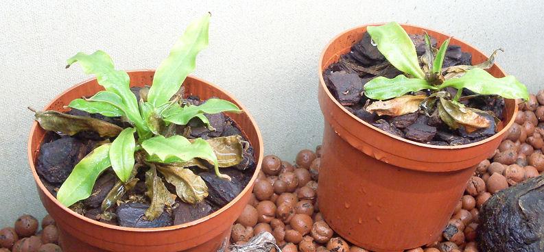 Ma Nepenthes Ventricosa 313