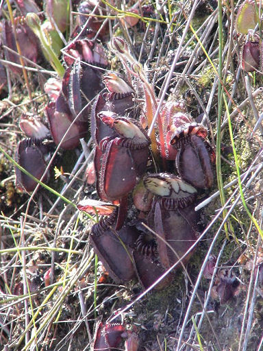 Cephalotus en australie Biotop10