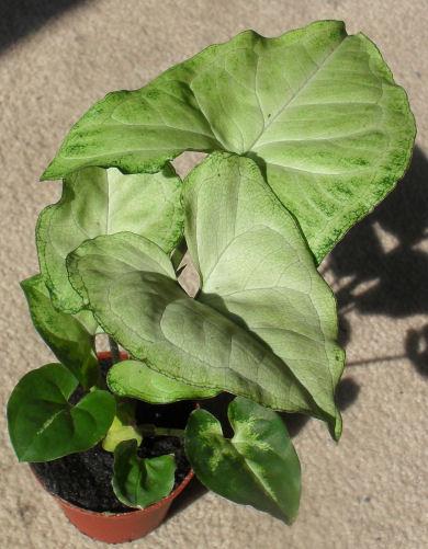 Quelqu'un connait cette plante ? Lisero10