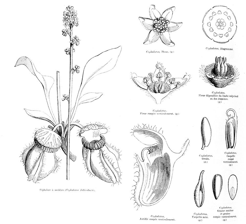 Dessin d'un Cephalotus Litho-10