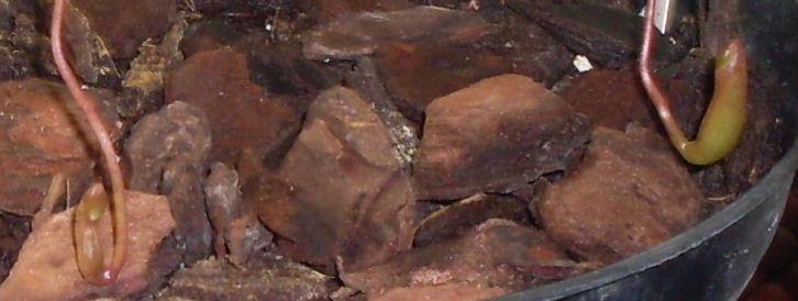 Ma Nepenthes Ventricosa Nepent13