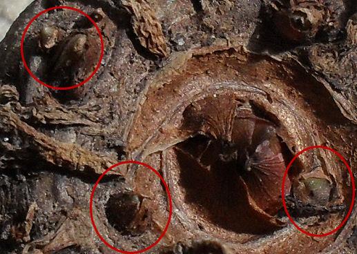 [RESOLU] J'ai oublié son nom (Amorphophallus) Sdc13311