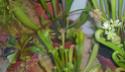 Ma Dionée fleuri 611
