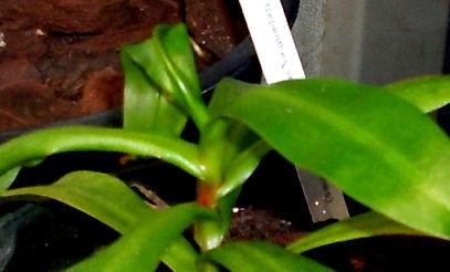 Ma Nepenthes Ventricosa Ventri13