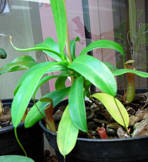 Ma Nepenthes Ventricosa Ventri15
