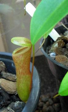 Ma Nepenthes Ventricosa Ventri16