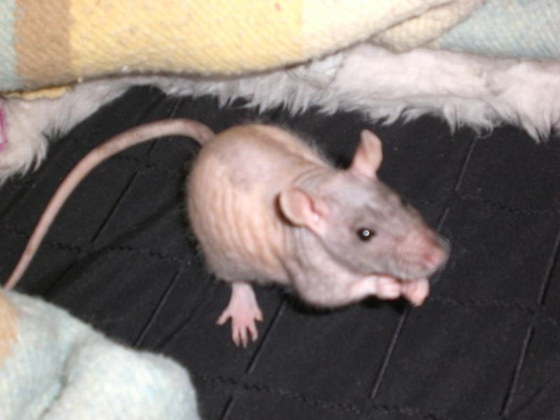 bébé rats nes le 17/05/09 Brindi14