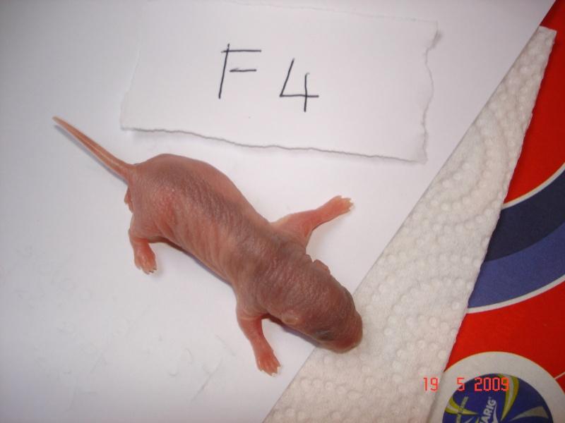 bébé rats nes le 17/05/09 Dsc08115