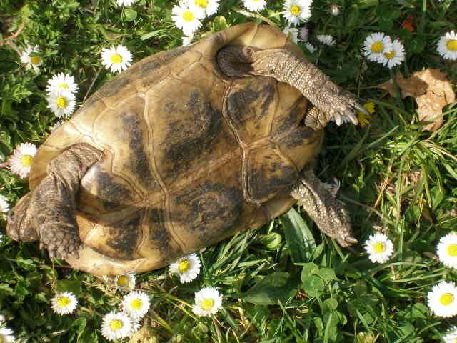 Estimation d'un âge très avancé pour une tortue et Les sutures en zig-zag. Camomi15