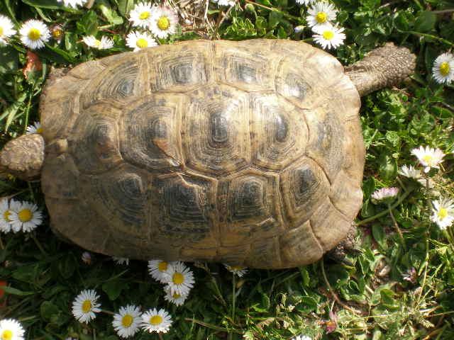 Estimation d'un âge très avancé pour une tortue et Les sutures en zig-zag. Camomi16