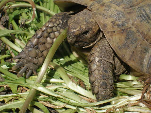 Estimation d'un âge très avancé pour une tortue et Les sutures en zig-zag. P4161010