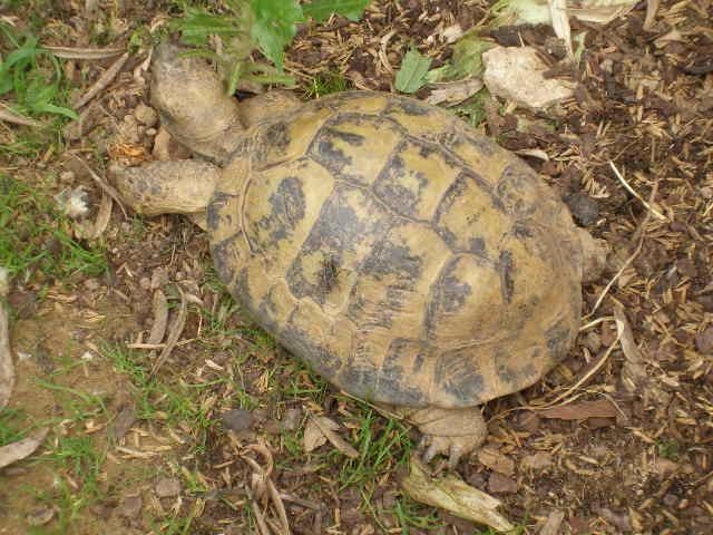 Estimation d'un âge très avancé pour une tortue et Les sutures en zig-zag. P5211010