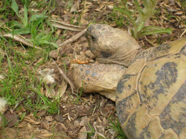 Estimation d'un âge très avancé pour une tortue et Les sutures en zig-zag. P5211011