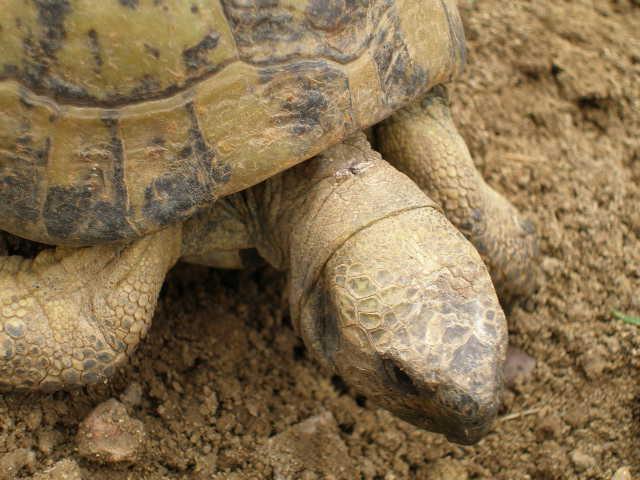 Estimation d'un âge très avancé pour une tortue et Les sutures en zig-zag. P5211012