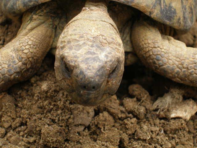 Estimation d'un âge très avancé pour une tortue et Les sutures en zig-zag. P5211013