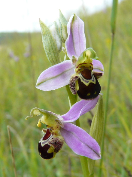 Ophrys apifera (Ophrys abeille ) Pays_d66