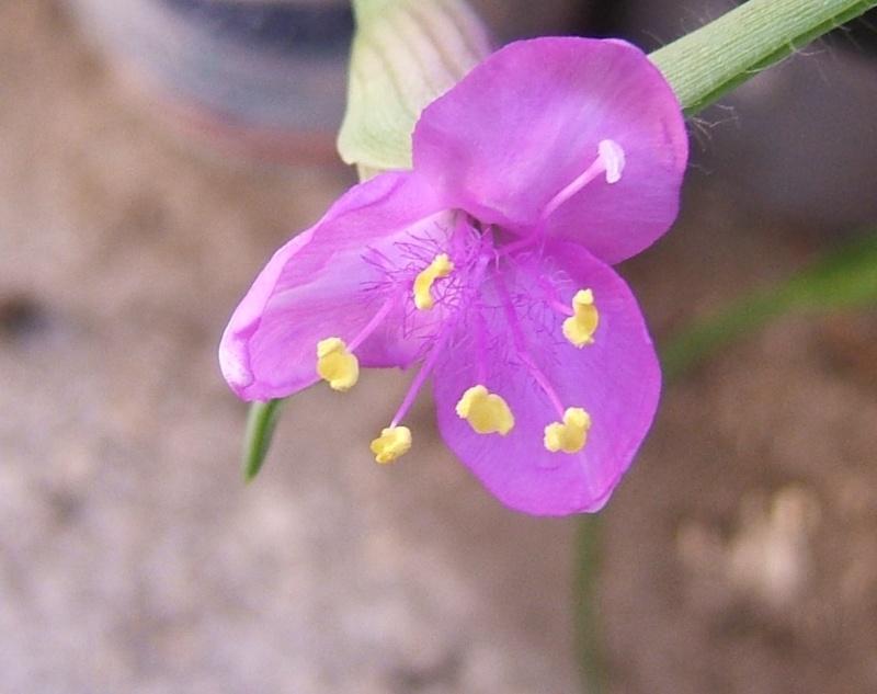 Floraisons de commelinaceae Fleurt10