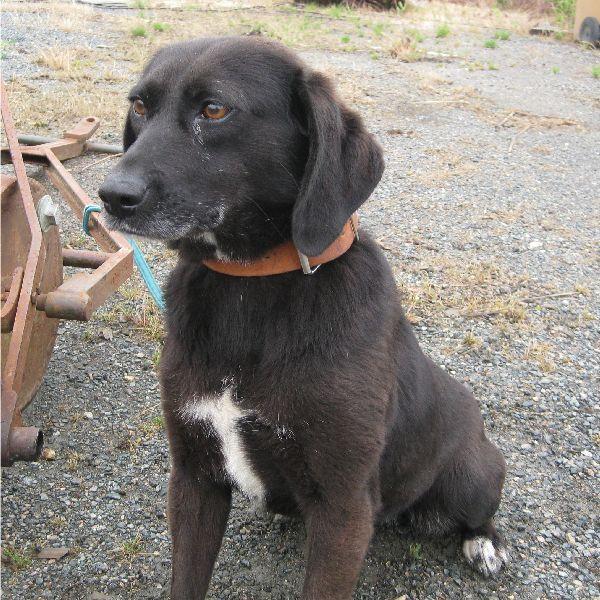 SISKA croisée labrador née en 01/07/2008 adoptée par FRANCINE  ( 79 ) Img_3123
