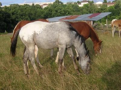 poulinières quarter horse 13582210