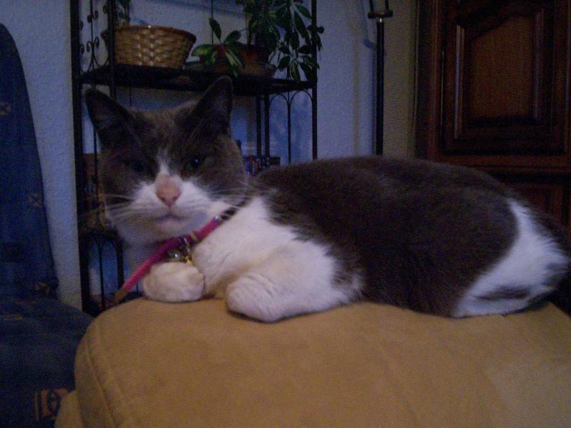 Pour les amoureux des chats Chelse16