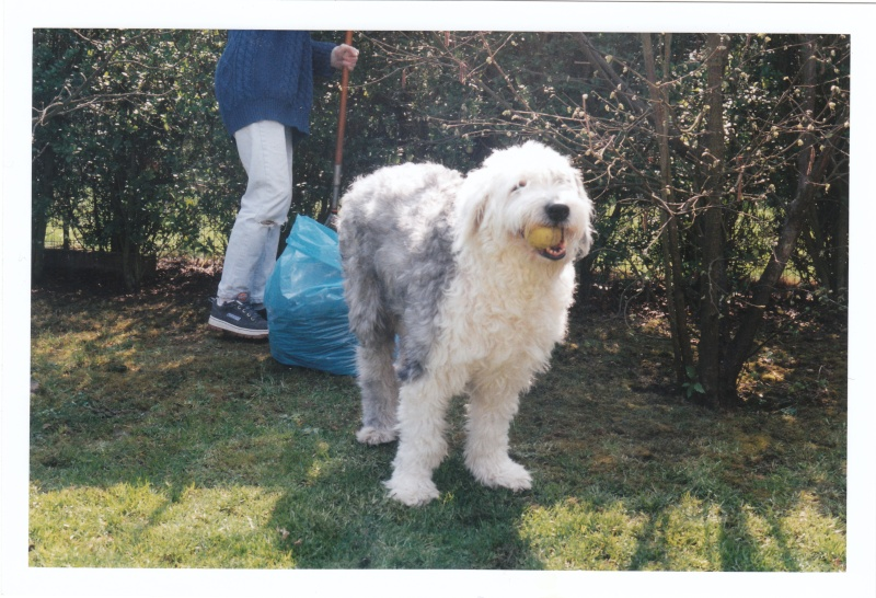 le bobtail (old english sheepdog) - Page 2 Img_0012