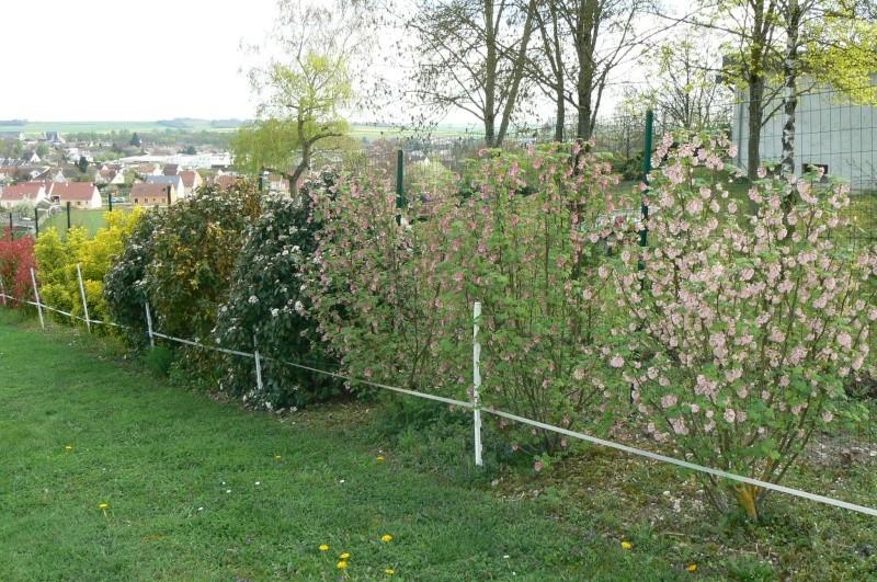 Groseiller a fleurs (Ribes sanguineum) - Page 2 P1020839