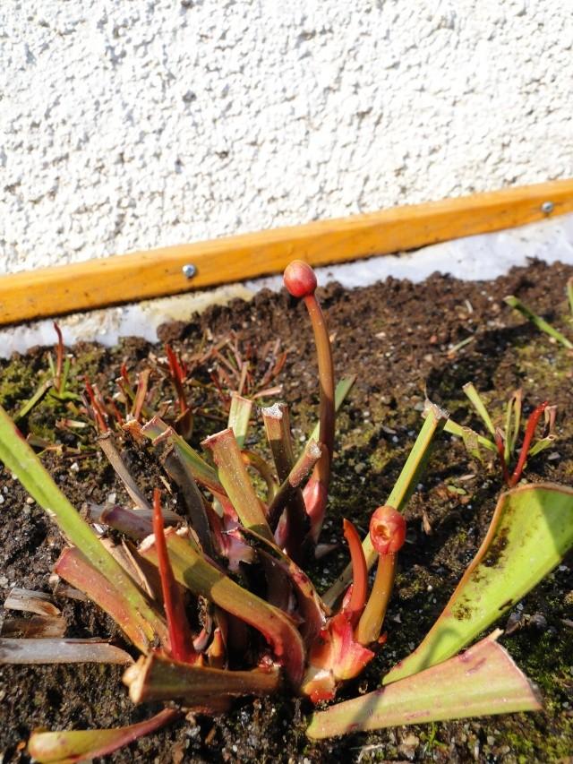 Mes plantes. (ça se réveille aussi du côté de Nantes...) Dsc01125